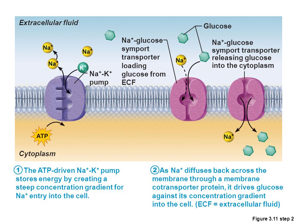 Figure 3.11 step 2 The ATP-driven Na + -K + pump stores energy by creating a steep concentration gradient for Na + entry into the cell. As Na + diffus