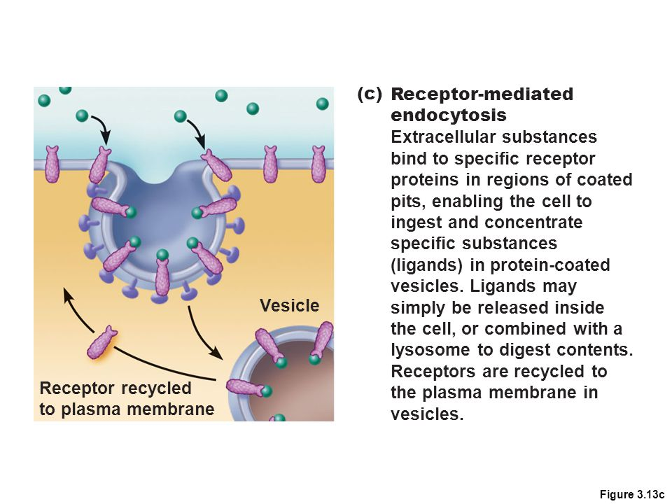 Figure 3.13c Vesicle Receptor recycled to plasma membrane (c) Receptor-mediated endocytosis Extracellular substances bind to specific receptor protein