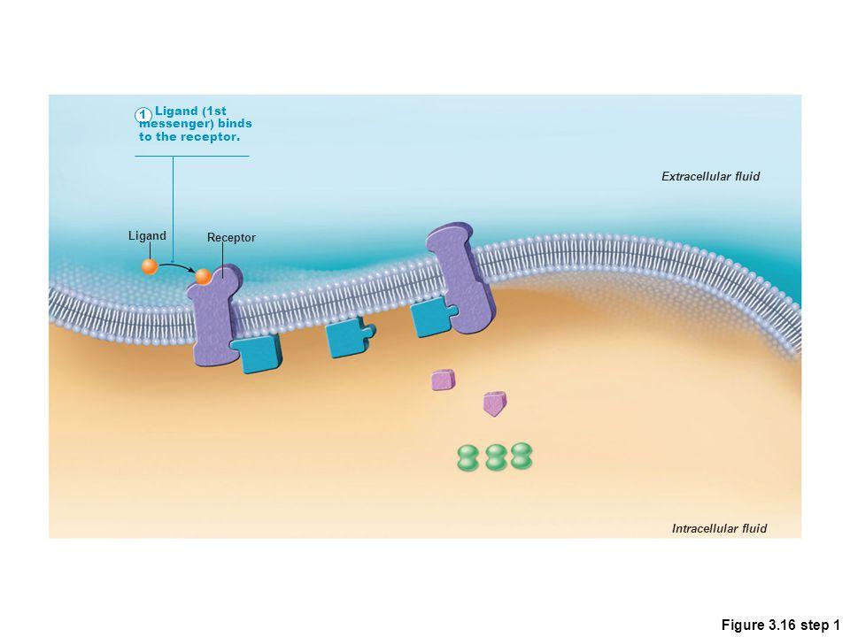 Figure 3.16 step 1 1 Ligand (1st messenger) binds to the receptor. Extracellular fluid Intracellular fluid Receptor Ligand