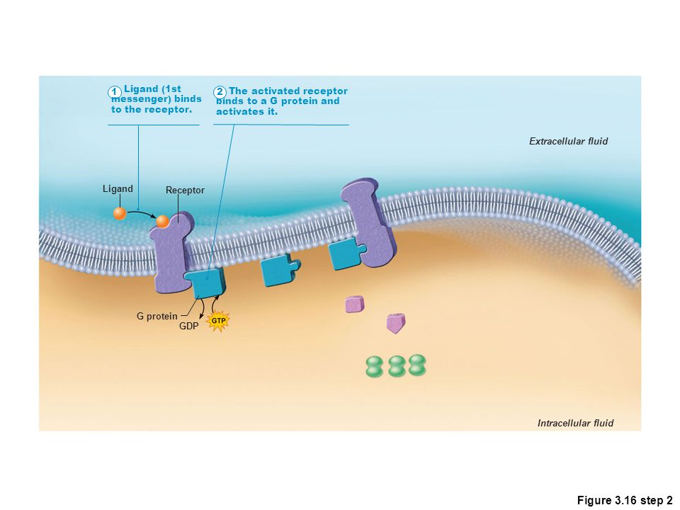 Figure 3.16 step 2 1 Ligand (1st messenger) binds to the receptor. The activated receptor binds to a G protein and activates it. Extracellular fluid I