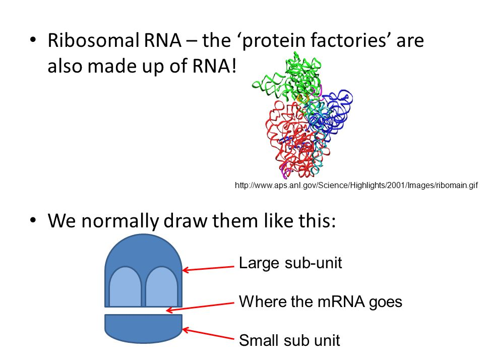 Ribosomal RNA – the 'protein factories' are also made up of RNA.