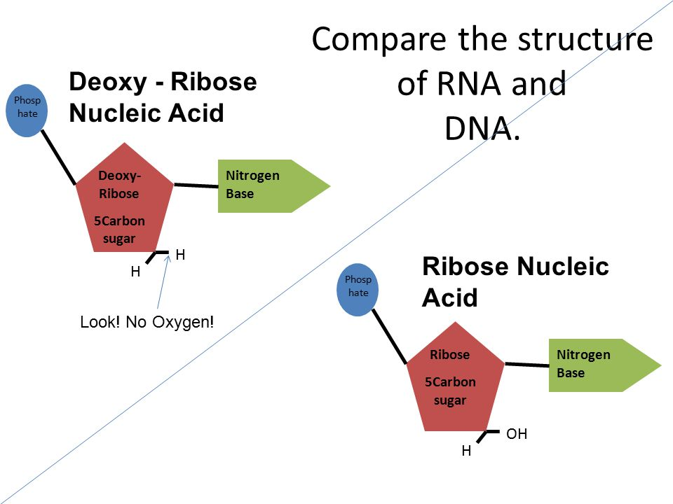Compare the structure of RNA and DNA.