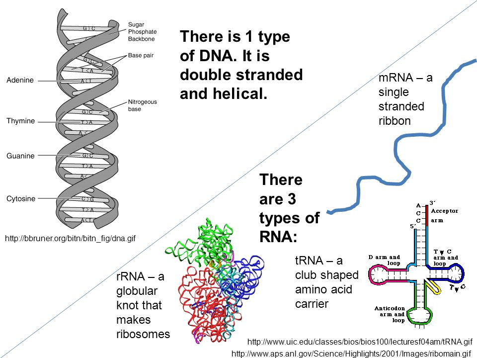 http://bbruner.org/bitn/bitn_fig/dna.gif mRNA – a single stranded ribbon rRNA – a globular knot that makes ribosomes tRNA – a club shaped amino acid carrier There is 1 type of DNA.