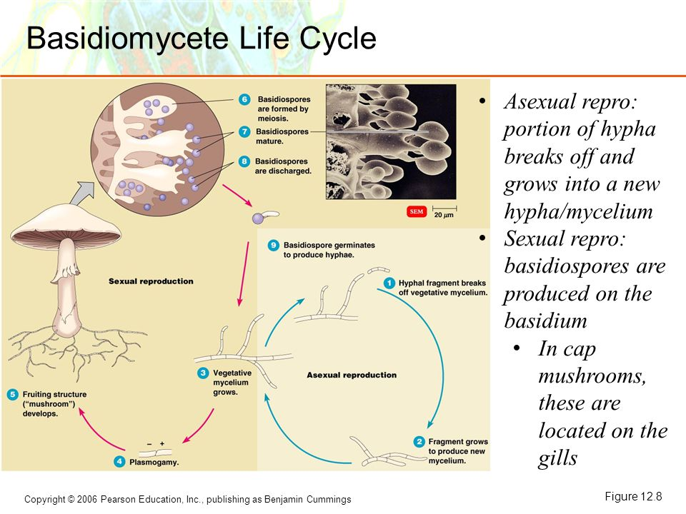Copyright © 2006 Pearson Education, Inc., publishing as Benjamin Cummings Basidiomycete Life Cycle Figure 12.8 Asexual repro: portion of hypha breaks off and grows into a new hypha/mycelium Sexual repro: basidiospores are produced on the basidium In cap mushrooms, these are located on the gills
