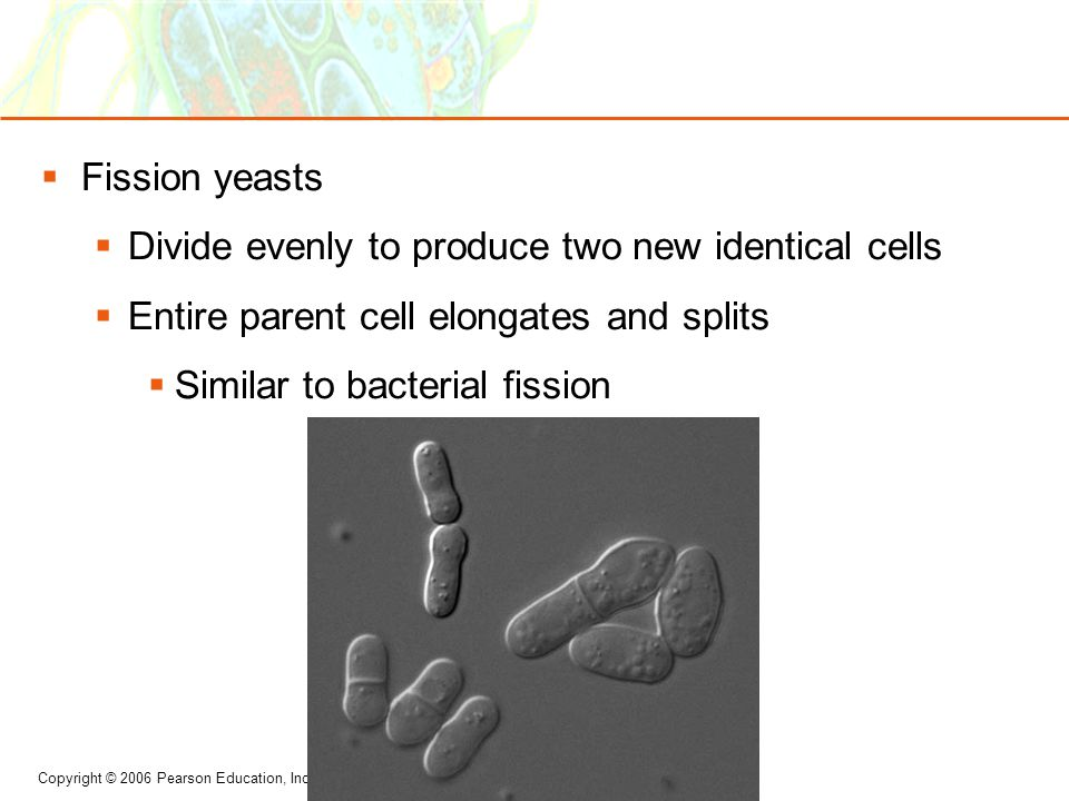  Fission yeasts  Divide evenly to produce two new identical cells  Entire parent cell elongates and splits  Similar to bacterial fission