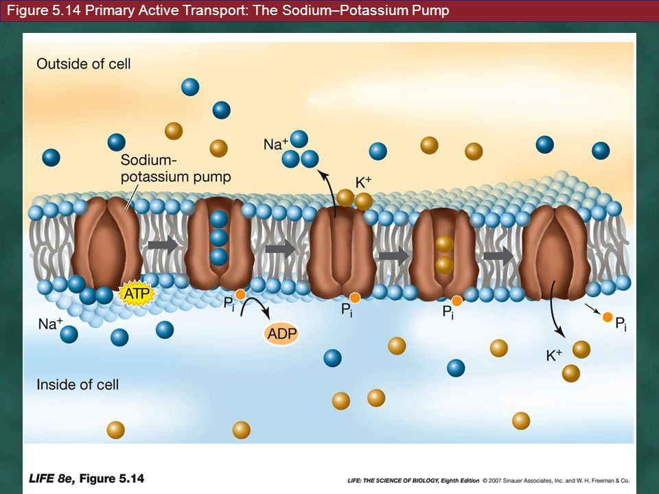 Figure 5.14 Primary Active Transport: The Sodium–Potassium Pump