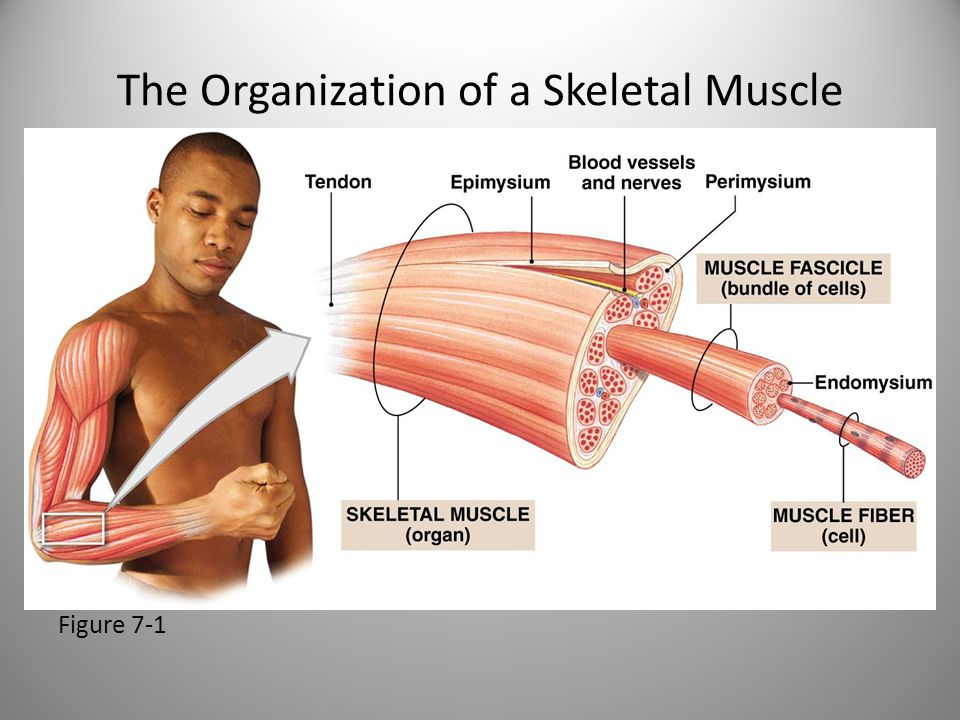 The Organization of a Skeletal Muscle Figure 7-1