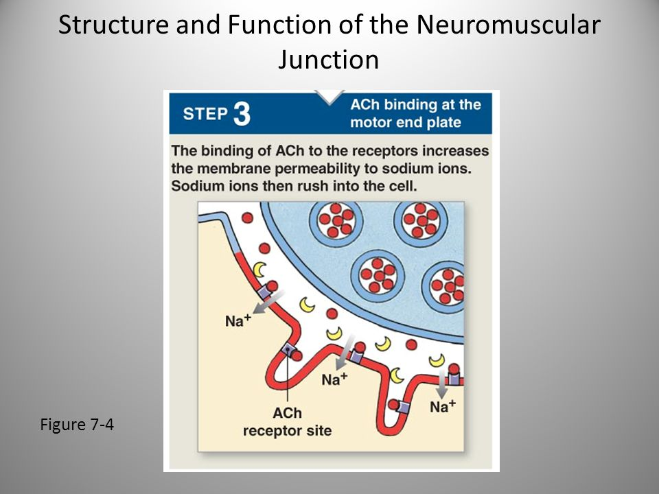 Structure and Function of the Neuromuscular Junction Figure 7-4