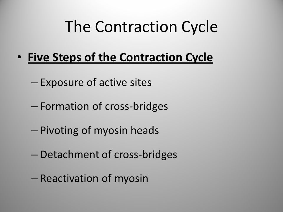 The Contraction Cycle Five Steps of the Contraction Cycle – Exposure of active sites – Formation of cross-bridges – Pivoting of myosin heads – Detachm