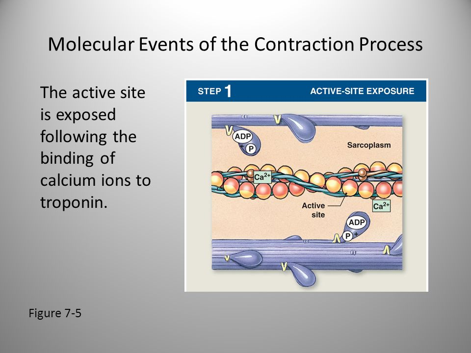 Molecular Events of the Contraction Process Figure 7-5 The active site is exposed following the binding of calcium ions to troponin.