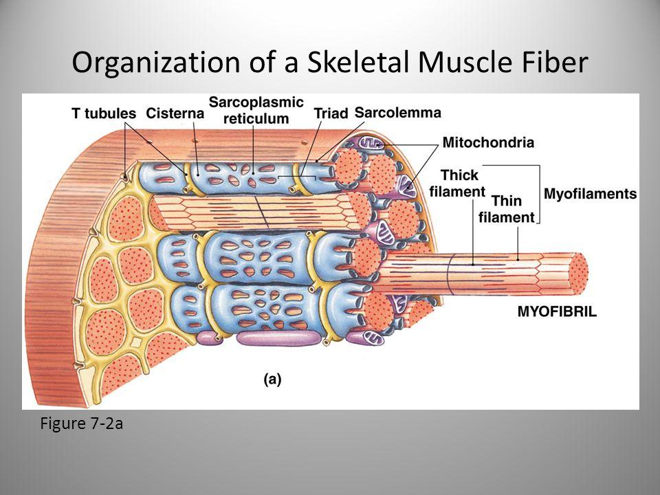 Organization of a Skeletal Muscle Fiber Figure 7-2a