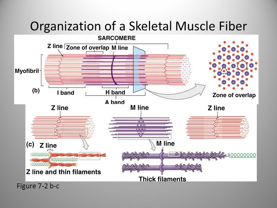 Organization of a Skeletal Muscle Fiber Figure 7-2 b-c