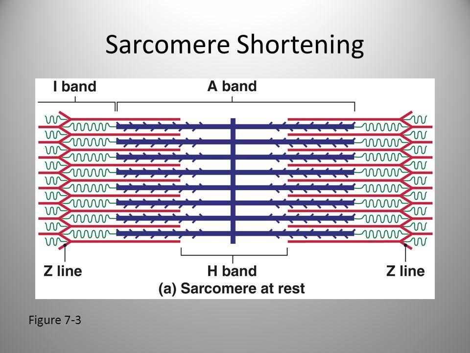 Sarcomere Shortening Figure 7-3