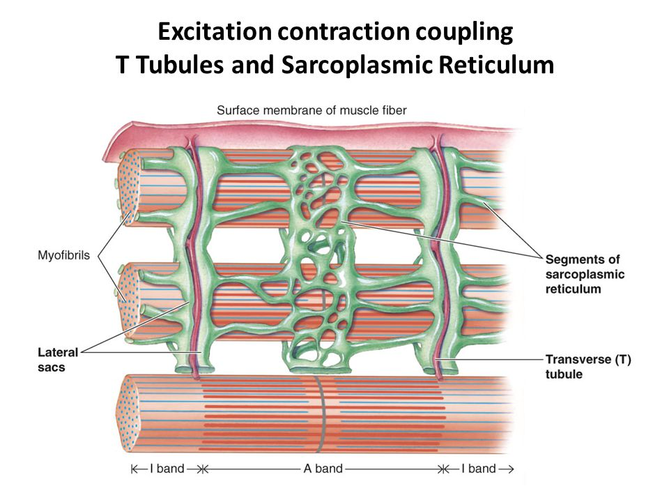 Excitation contraction coupling T Tubules and Sarcoplasmic Reticulum