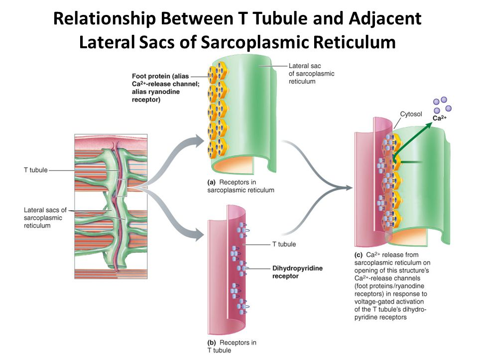Relationship Between T Tubule and Adjacent Lateral Sacs of Sarcoplasmic Reticulum