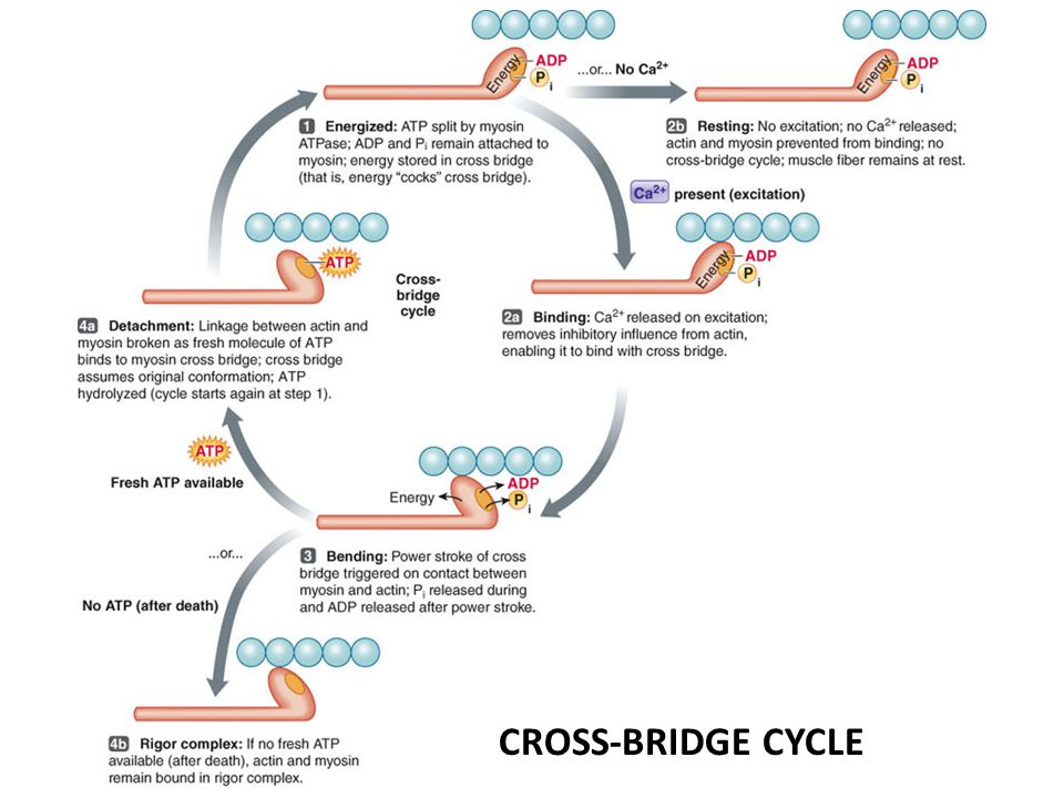 CROSS-BRIDGE CYCLE