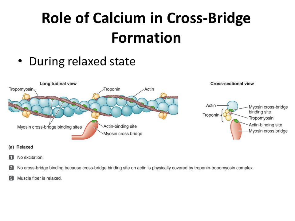 Role of Calcium in Cross-Bridge Formation During relaxed state