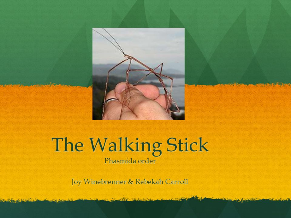 The Walking Stick Phasmida order Joy Winebrenner & Rebekah Carroll