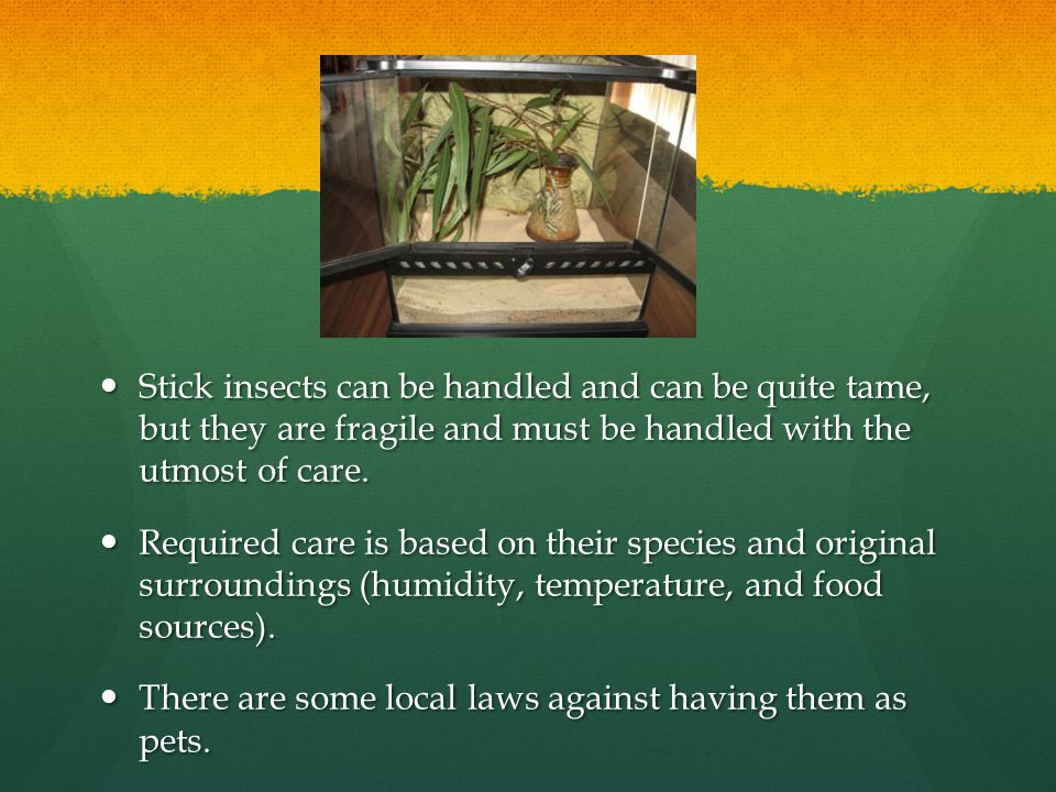 Stick insects can be handled and can be quite tame, but they are fragile and must be handled with the utmost of care.