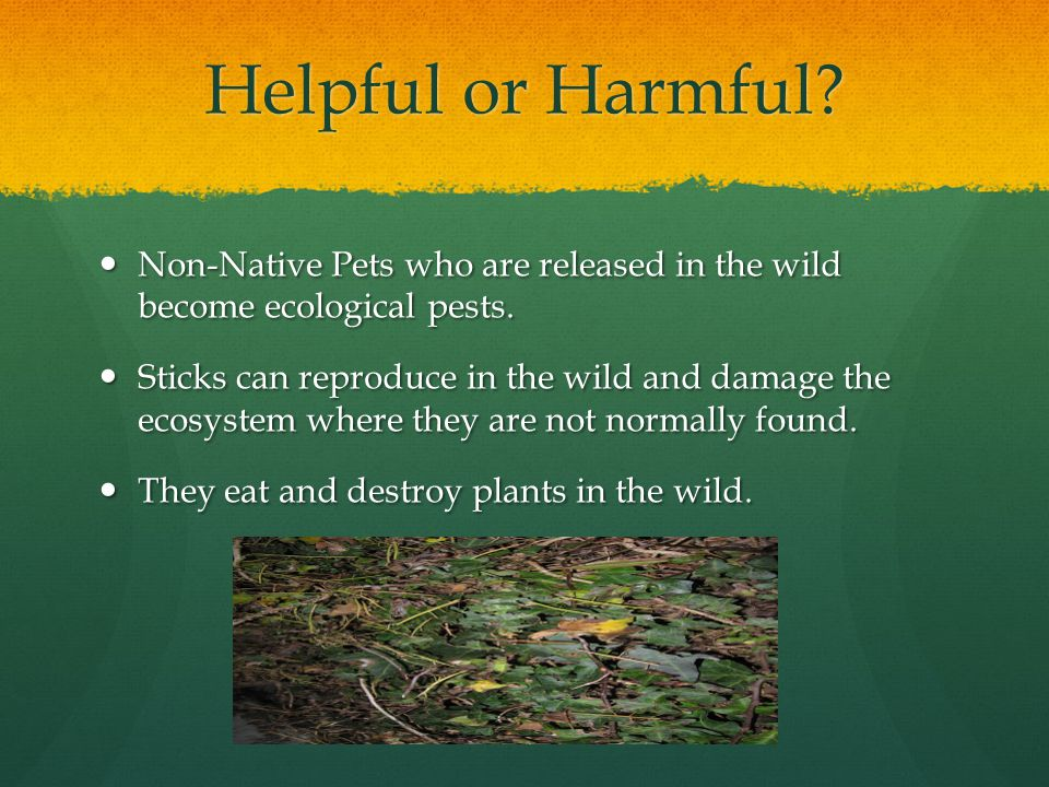 Helpful or Harmful. Non-Native Pets who are released in the wild become ecological pests.