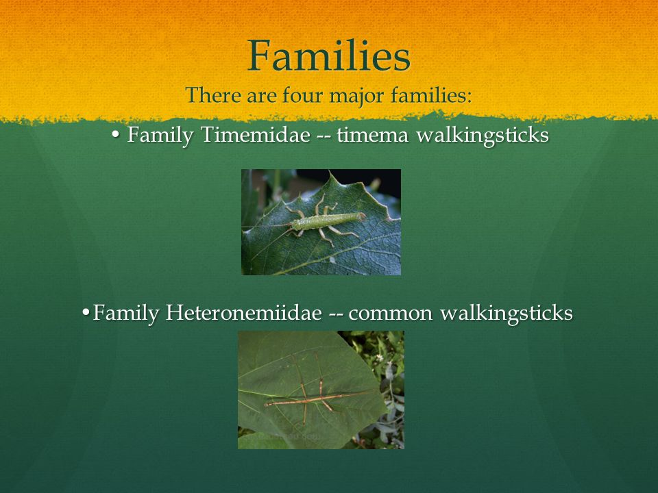 Families There are four major families: Family Timemidae -- timema walkingsticks Family Timemidae -- timema walkingsticks Family Heteronemiidae -- common walkingsticks