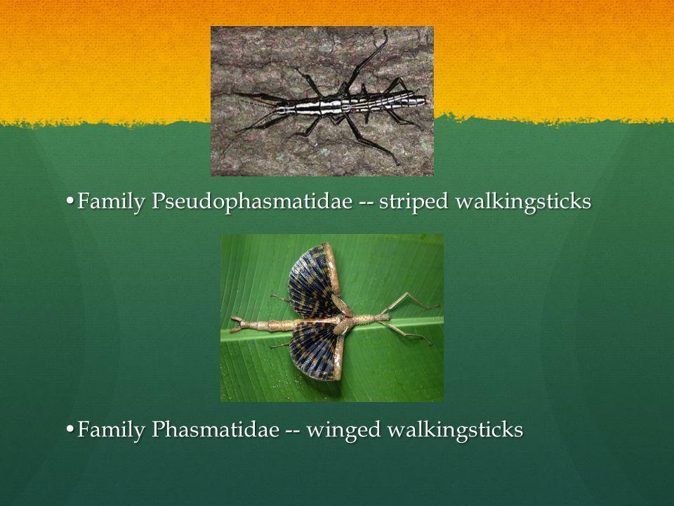 Family Pseudophasmatidae -- striped walkingsticks Family Phasmatidae -- winged walkingsticks