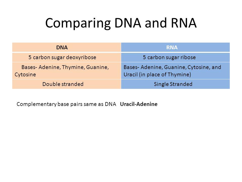 Comparing DNA and RNA DNA RNA 5 carbon sugar deoxyribose 5 carbon sugar ribose Bases- Adenine, Thymine, Guanine, Cytosine Bases- Adenine, Guanine, Cyt