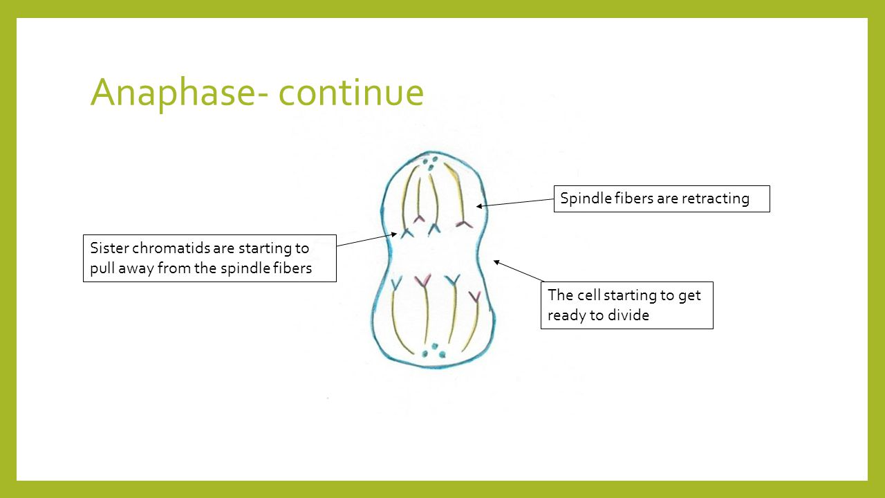 Anaphase- continue Spindle fibers are retracting Sister chromatids are starting to pull away from the spindle fibers The cell starting to get ready to