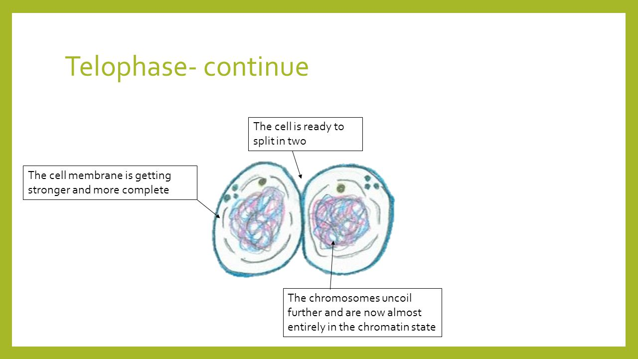 Telophase- continue The chromosomes uncoil further and are now almost entirely in the chromatin state The cell membrane is getting stronger and more complete The cell is ready to split in two