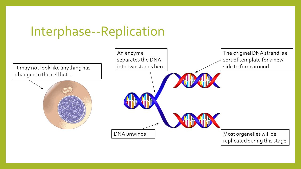 Interphase--Replication It may not look like anything has changed in the cell but….