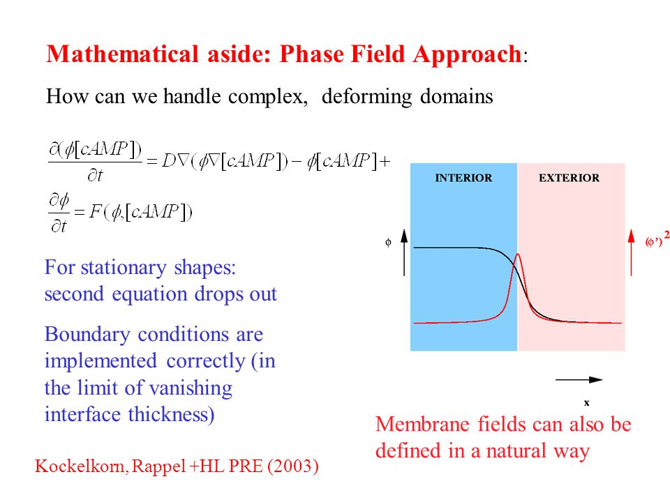 Mathematical aside: Phase Field Approach : How can we handle complex, deforming domains Membrane fields can also be defined in a natural way For stationary shapes: second equation drops out Boundary conditions are implemented correctly (in the limit of vanishing interface thickness) Kockelkorn, Rappel +HL PRE (2003)