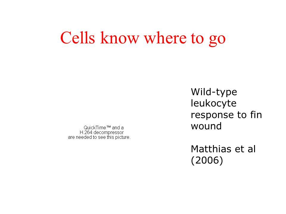 Cells know where to go Wild-type leukocyte response to fin wound Matthias et al (2006)