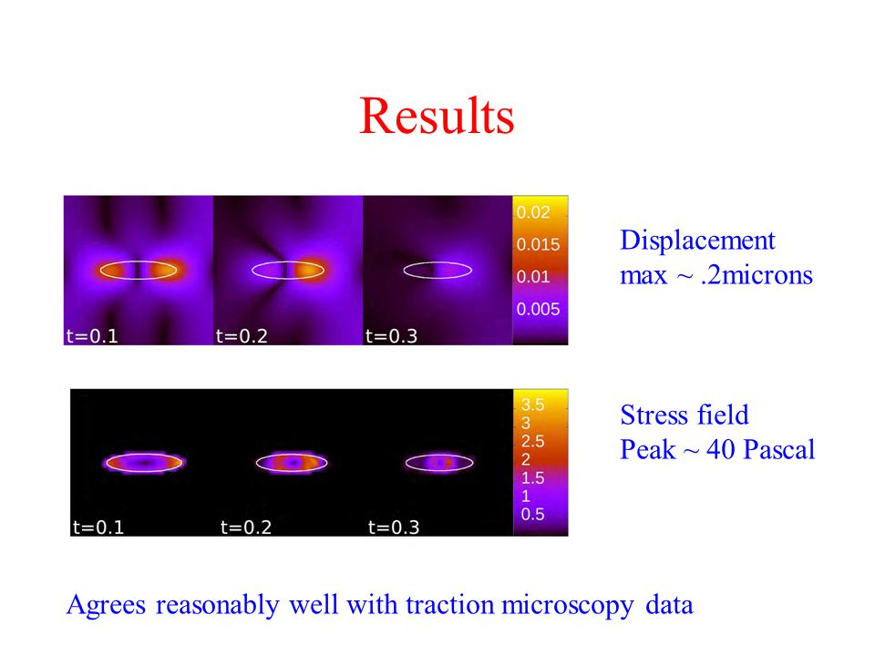 Results Displacement max ~.2microns Stress field Peak ~ 40 Pascal Agrees reasonably well with traction microscopy data