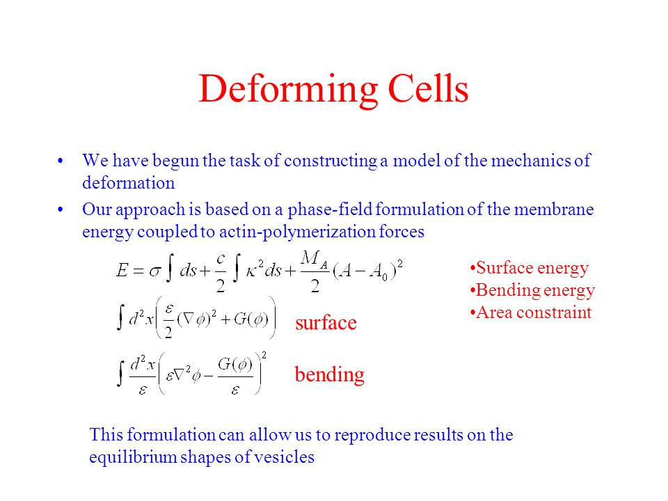 Deforming Cells We have begun the task of constructing a model of the mechanics of deformation Our approach is based on a phase-field formulation of the membrane energy coupled to actin-polymerization forces Surface energy Bending energy Area constraint surface bending This formulation can allow us to reproduce results on the equilibrium shapes of vesicles