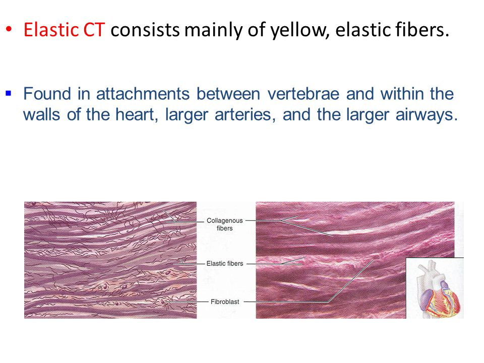 Elastic CT consists mainly of yellow, elastic fibers.  Found in attachments between vertebrae and within the walls of the heart, larger arteries, and