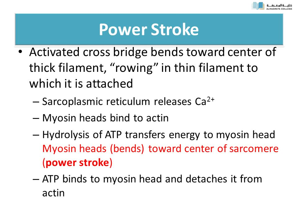 Power Stroke Activated cross bridge bends toward center of thick filament, rowing in thin filament to which it is attached – Sarcoplasmic reticulum releases Ca 2+ – Myosin heads bind to actin – Hydrolysis of ATP transfers energy to myosin head Myosin heads (bends) toward center of sarcomere (power stroke) – ATP binds to myosin head and detaches it from actin