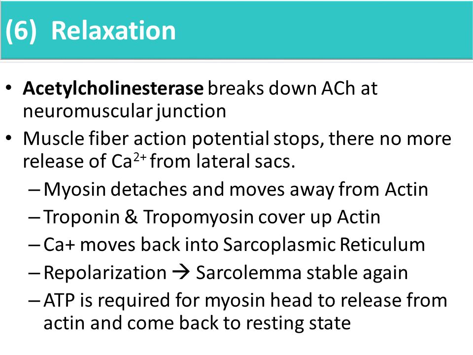 (6) Relaxation Acetylcholinesterase breaks down ACh at neuromuscular junction Muscle fiber action potential stops, there no more release of Ca 2+ from lateral sacs.
