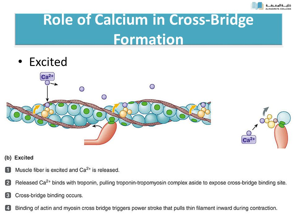 Role of Calcium in Cross-Bridge Formation Excited