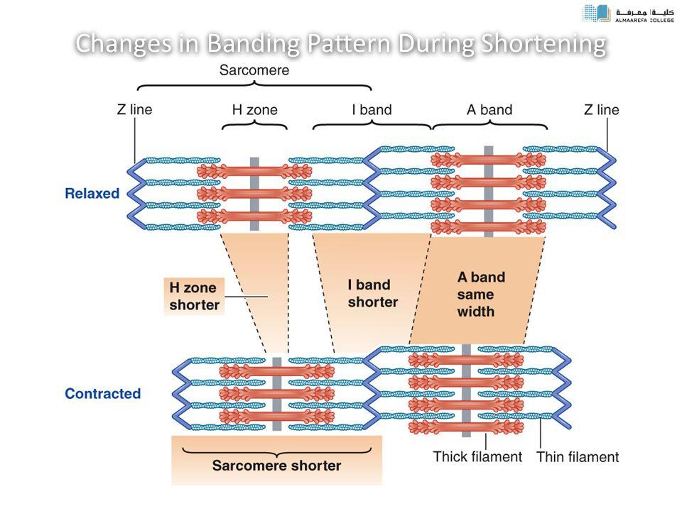 Changes in Banding Pattern During Shortening