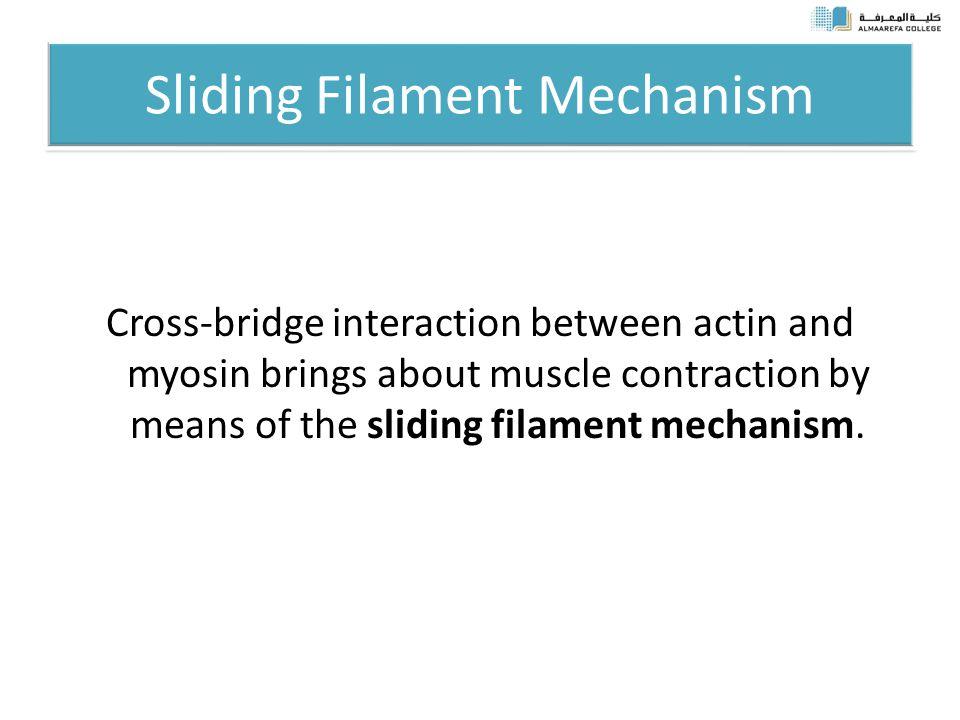 Sliding Filament Mechanism Cross-bridge interaction between actin and myosin brings about muscle contraction by means of the sliding filament mechanism.