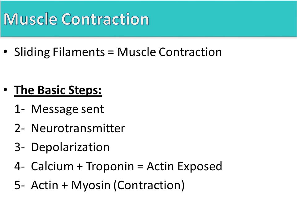 Sliding Filaments = Muscle Contraction The Basic Steps: 1- Message sent 2- Neurotransmitter 3- Depolarization 4- Calcium + Troponin = Actin Exposed 5- Actin + Myosin (Contraction)