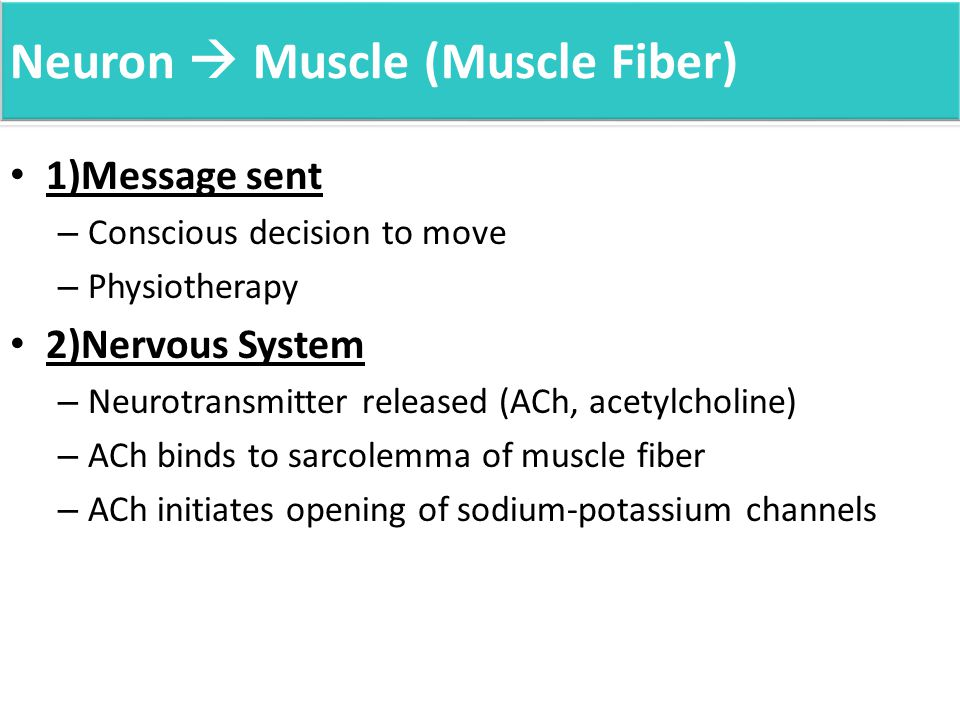 Neuron  Muscle (Muscle Fiber) 1)Message sent – Conscious decision to move – Physiotherapy 2)Nervous System – Neurotransmitter released (ACh, acetylcholine) – ACh binds to sarcolemma of muscle fiber – ACh initiates opening of sodium-potassium channels