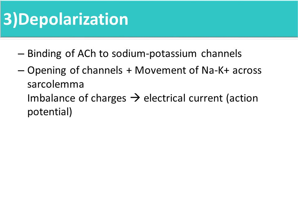 3)Depolarization – Binding of ACh to sodium-potassium channels – Opening of channels + Movement of Na-K+ across sarcolemma Imbalance of charges  electrical current (action potential)