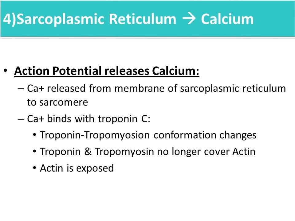4)Sarcoplasmic Reticulum  Calcium Action Potential releases Calcium: – Ca+ released from membrane of sarcoplasmic reticulum to sarcomere – Ca+ binds with troponin C: Troponin-Tropomyosion conformation changes Troponin & Tropomyosin no longer cover Actin Actin is exposed