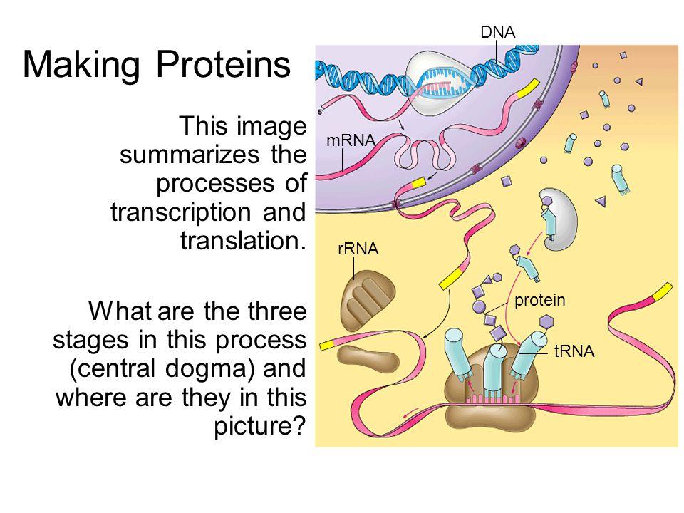 RNA RNA (Ribonucleic Acid) Ribose –Contains Ribose as the sugar in its sugar- phosphate backbone UracilRNA has Uracil rather than Thymine as a base –Base pairs: A – UC – G 3 types of RNA –messenger (mRNA) –transfer (tRNA) –ribosomal (rRNA)