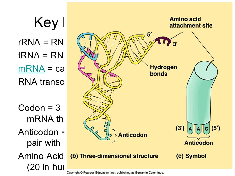Key Players in Translation rRNA = RNA that makes up a ribosome tRNA = RNA that transfers specific amino acids mRNAmRNA = carries the DNA message; RNA