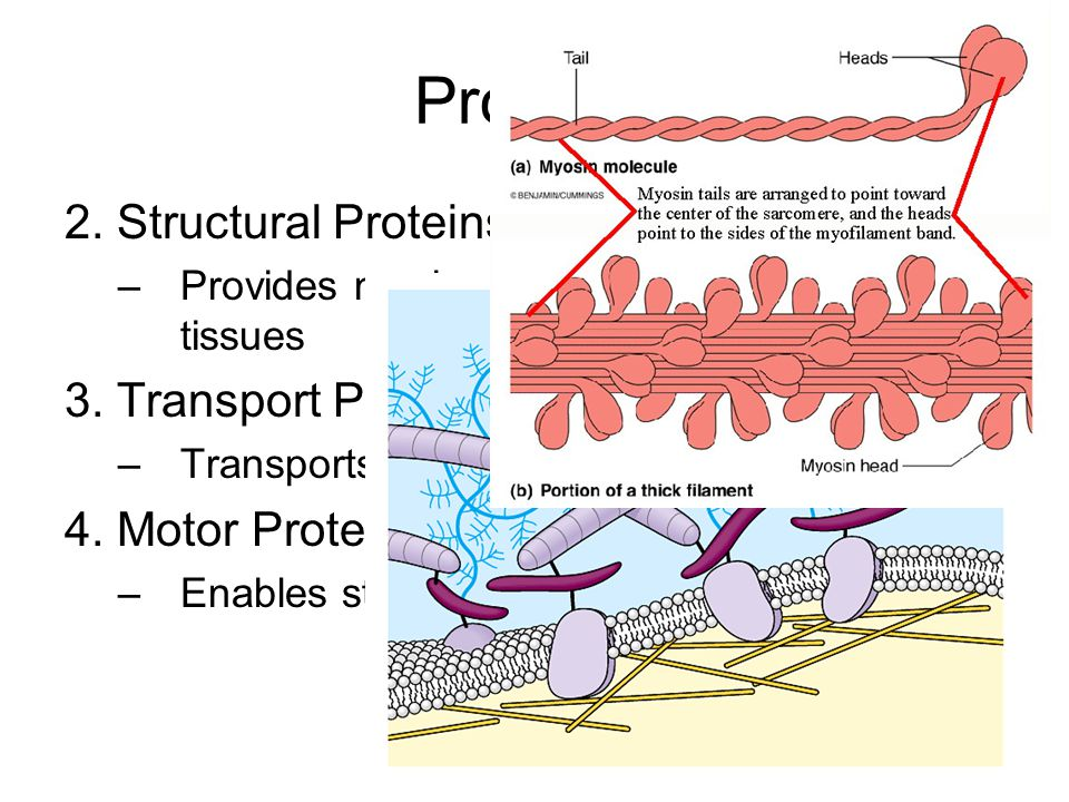 Proteins 2. Structural Proteins –Provides mechanical support to cells and tissues 3. Transport Proteins –Transports small ions or molecules 4. Motor P