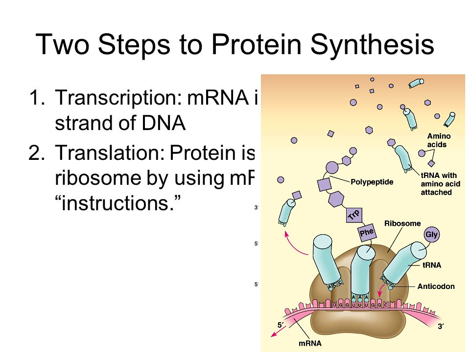 Proteins 2.Structural Proteins –Provides mechanical support to cells and tissues 3.