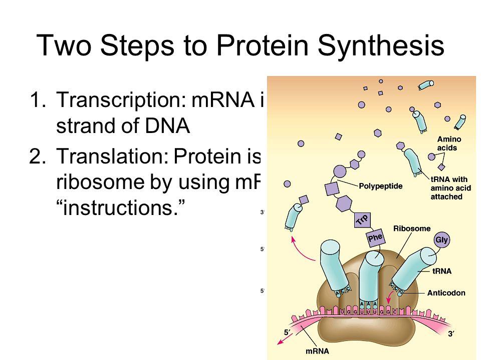 Transcription in Prokaryotes DNA is transcribed into mRNA