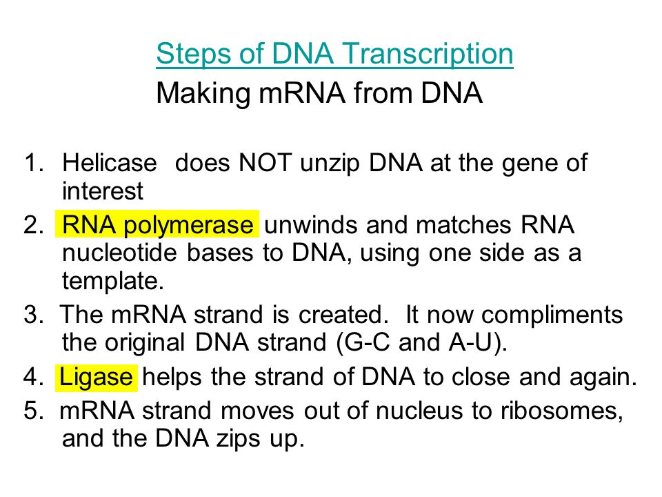 Steps of DNA Transcription Making mRNA from DNA 1.Helicase does NOT unzip DNA at the gene of interest 2.RNA polymerase unwinds and matches RNA nucleot